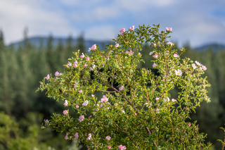 Rosehip bush with pink flowers in bloom