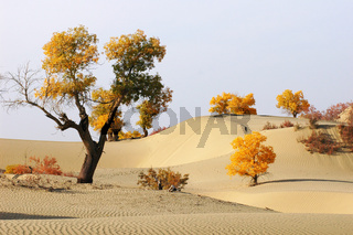 Landscape of desert with golden trees in the autumn