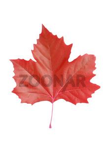 Rotes Ahornblatt - Freisteller