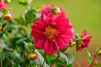 Open flower of Dahlia