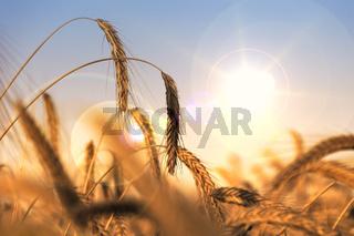 Getreide & Trockenheit