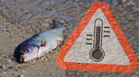 Fish mortality through too warm water