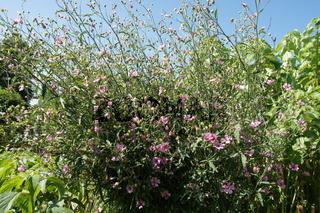 Althaea cannabina, Hanf-Stockrose, hempleaved hollyhock