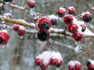 Eingefrorene Beeren