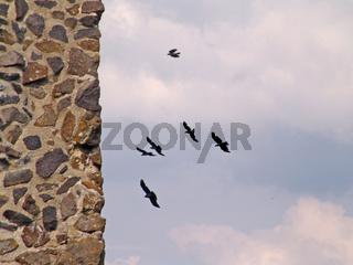 Vögel an der Burgruine Thierstein