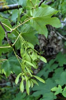 Bergahorn, Acer pseudoplatanus, Blätter und Früchte