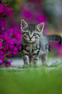 Kitten between petunia flowers