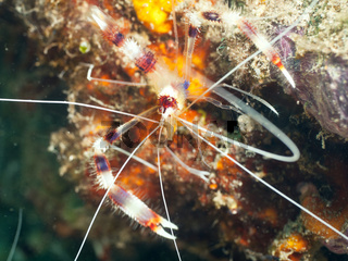 Banded cleaner shrimp