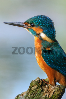 Common Kingfisher fishing in a pond in a summer evening.