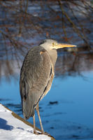 Common heron in Berlin. Germany