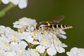 Spharophoria scripta, Gemeine Langbauchschwebfliege, Long Hoverfly