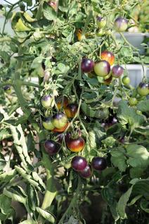 Solanum lycopersicum Indigo Fireball, Tomate, Tomato