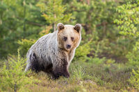 Brown bear walking through a moorland with copy space