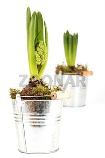 Zwei Hyazinthen in silbernen Töpfen mit geschlossenen Blüten vor einem weißen Hintergrund
