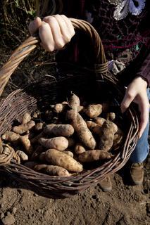Junge Frau bei Kartoffelernte