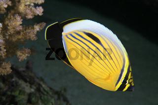 Polypen-Falterfisch, Polyp Butterflyfisch, Chaetodon austriacus
