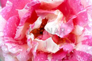 Rosenblüte nach den Regen