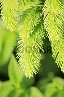 Grüne Tannenzweige vertikal
