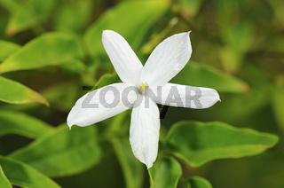 Blüte des Echten Jasmin, Jasminum officinale