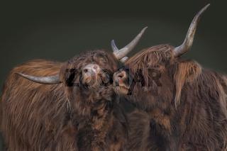 schottische Hochlandrinder 11