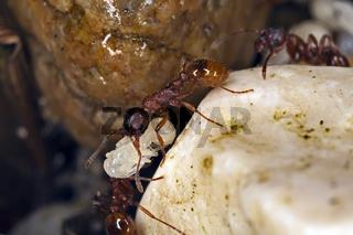 Myrmica rubra, Rotgelbe Knotenameise