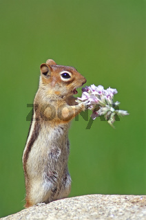 Golden Mantled squirrel (Citellus lateralis) eating flowers