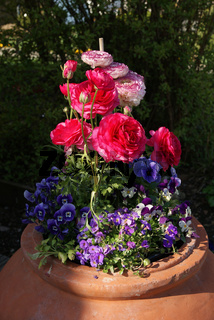 Ranunculus asiaticus, Ranunkel, Persian buttercup