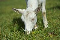 Grazing unhorned Saanen goat, Saanen, Obersimmental-Saanen, Switzerland