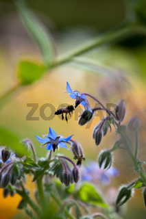 Borretsch (Borago officinalis) mit Biene