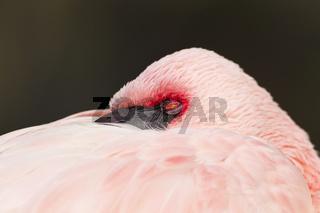 Flamingo (Phoenicopteriformes, Phoenicopteridae)
