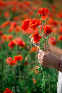 Cmall bouquet of red poppies in hands of a man. Several stems of poppy plants in palms. Large field with beautiful red poppies. Poppy flower close-up.