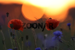 poppies field in sunset germany