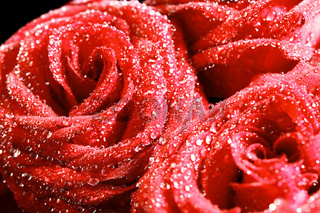red rose in water drops macro close up