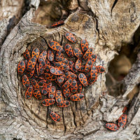 Accumulation of fire bugs (Pyrrhocoris apterus) on the trunk of a lime tree