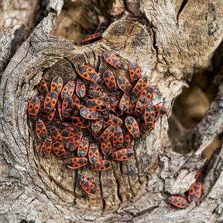 Ansammlung von Feuerwanzen (Pyrrhocoris apterus)