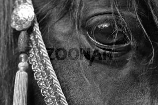Pferdeauge in s/w