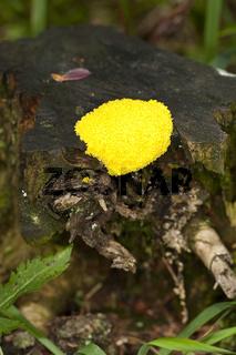 Gelbe-Lohbluete