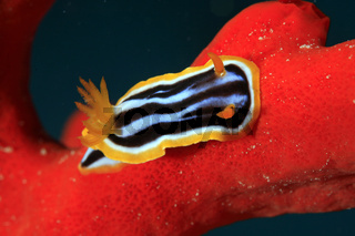 Prachtsternschnecke, Harlequin Nudibranch, Chromodoris quadricolor