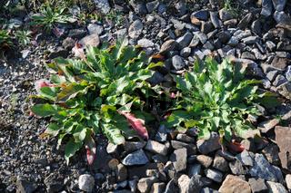 Oenothera biennis, Nachtkerze, Evening Primrose, Blattrosetten