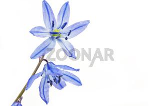 Blausternchen (Scilla siberica)