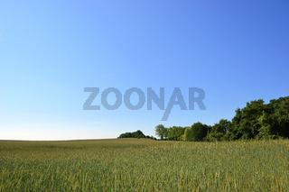 ein Gerstenfeld und Bäume