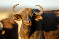 Portrait of an African or Cape buffalo (Syncerus caffer)
