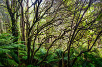 Beech Forest Landscape in Australia