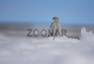 Small polar white-colored bird is sitting on the snowbank of the Arctic Ocean on the background of blue sky.