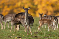 Female fallow deer looking to the camera on meadow.