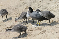 Coot chicks begging for feed