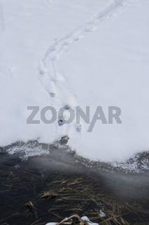 Fischotter-Spur