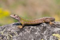 Female european green lizard lying on a rock illuminated by summer sun.