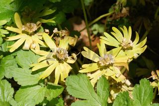 Eranthis hyemalis, Winterling, Winter Aconite, Samen
