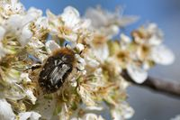 Shaggy rose chafer in plum blossoms